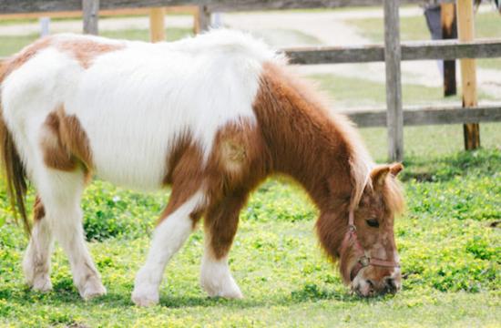 Edo horse