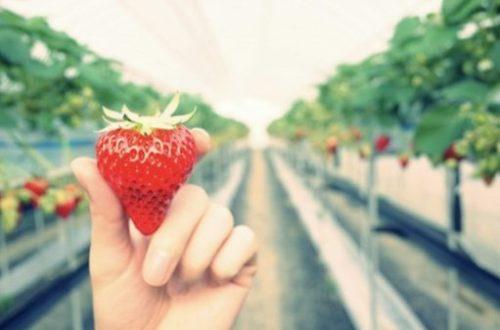 How to distinguish strawberries