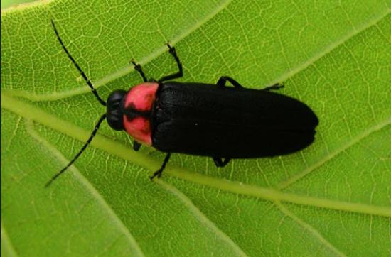 Genji firefly