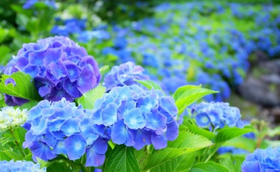 What is the origin of the flower language with plentiful hydrangea?