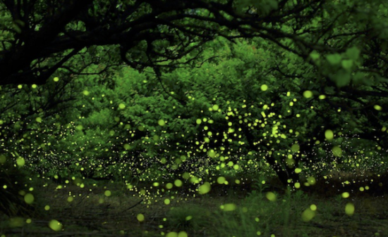 What time is the firefly flying?