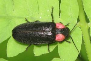 Hayke firefly