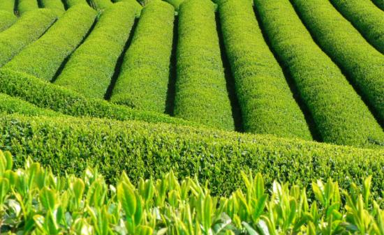 日本茶の歴史