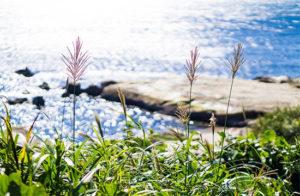 秋の七草のススキ