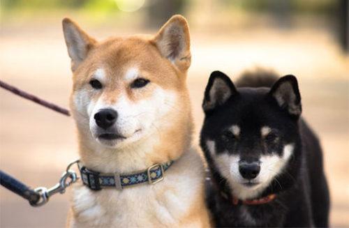 茶と黒の柴犬