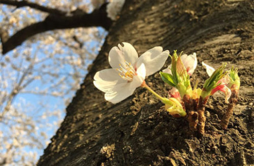 桜は優しく扱って
