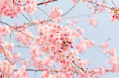 桜の種類も色々