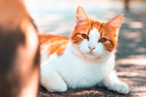 日本猫の種類