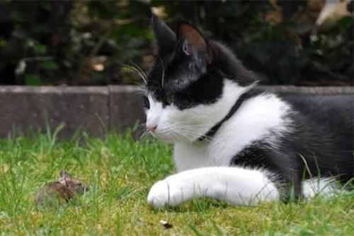 猫はネズミを獲ります
