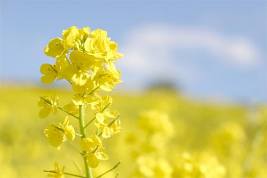 菜の花の花言葉
