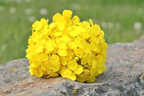 菜の花の花束