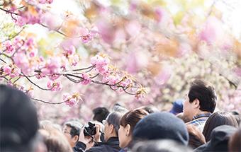 名所を避け、近所の桜を見る