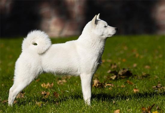 アイヌ犬は実在する犬