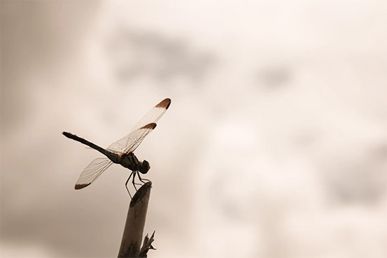 羽に模様がある赤とんぼ