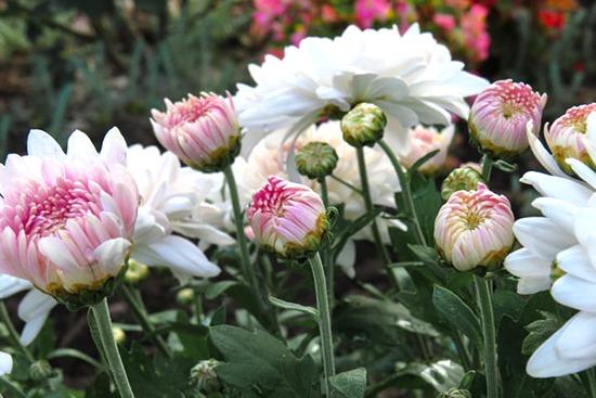 日本の菊の歴史